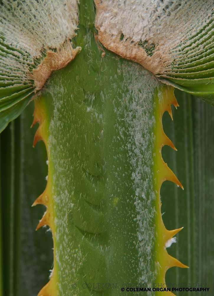 Palm Stalk