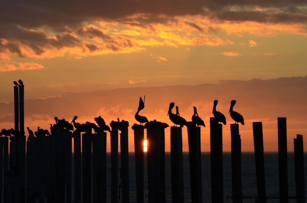Pelicans at Sunset Louisiana