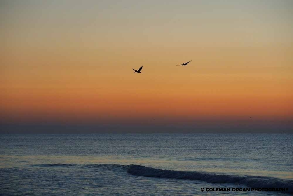 Orange Beach Pelicans Alabama