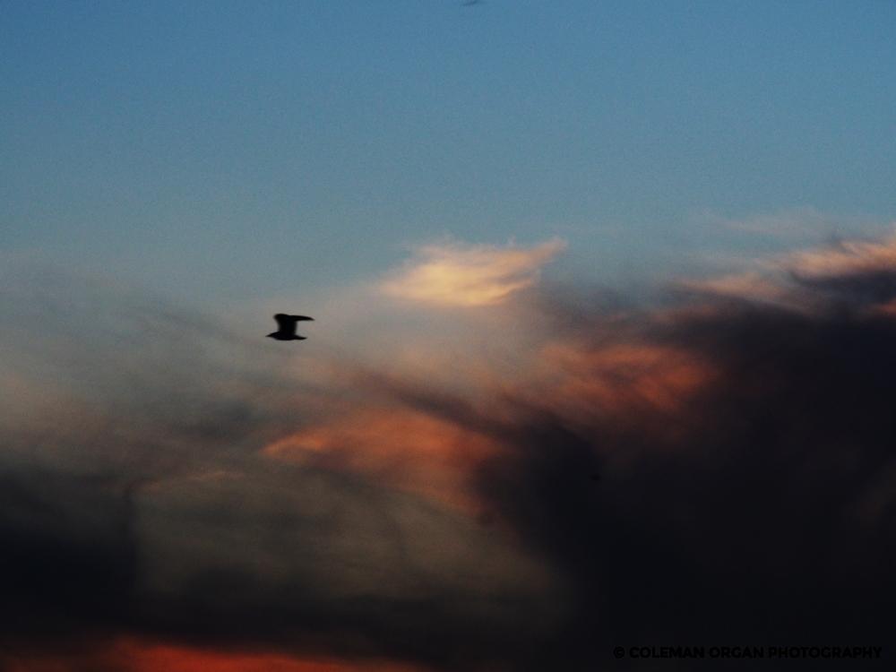 Seabird clouds flight